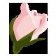 Rosen in früher Blühephase