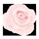 Rose aufblühend in voller Pracht